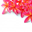 Stock Photo: Plumeria
