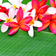 Lot of framing plumeria — Stockfoto #16847069