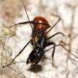 Black ant — Stock Photo #16848935