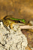 Nahaufnahme Frosch auf Stein — Stockfoto