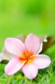 Fresh frangipani — Stock Photo