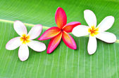 Three Plumeria on Banana Leaf — Stock Photo