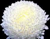 White flower bloom — Stock Photo
