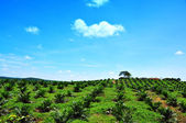 Palm Oil Plantation on Hill — Stock Photo