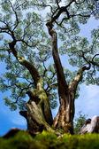 дерево бонсай — Стоковое фото