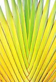 Vástago de plátano — Foto de Stock