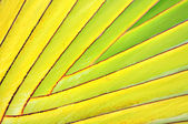 Ornamental banana leaves branch — Stock Photo