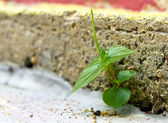 Pflanze-Durchbruch — Stockfoto