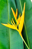 Heliconia flowers on banana leaf — Stock Photo