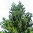 Spruce tree — Stock Photo #19021547