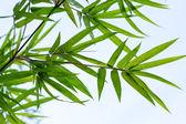 Bambus świeży liść — Zdjęcie stockowe