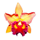 Yellow orchid isolated on white background with clipping path — Photo
