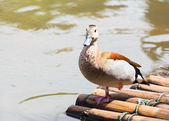 Ringed Teal relaxing beside the river. — Stock Photo