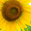 Sunflower close up — Stock Photo