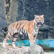 Sumatran tiger — Stock Photo #31874191
