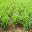 Stock Photo: Lemon grass plant,North East of Thailand.