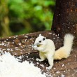 Foto de Stock  : White albino squirrel eating food