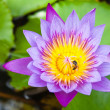 Purple water lilly on water background with leaves. — Stock Photo