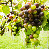 Black grapes in vineyard before harvest — Stock Photo
