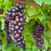 早熟葡萄在葡萄藤上 — 图库照片