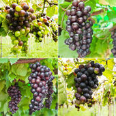 Collection of ripening grape clusters on the vine — Stock Photo
