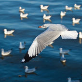 Seagulls flying over the sea — Stock Photo