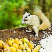 White albino squirrel eating food — Stock Photo
