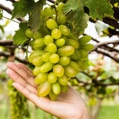 Hand holding grape tending in vineyard — Stock Photo