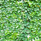 The Green Creeper Plant on the wall for background. — Stock Photo