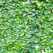 La pianta rampicante verde sul muro per sfondo. — Foto Stock