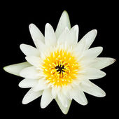 White water lilly isolated on black background,with clipping pat — Stock Photo