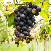 Black grapes in vineyard before harvest — Стоковое фото