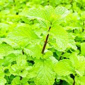 Frische grüne minze pflanzen — Stockfoto