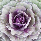 观赏白菜 — 图库照片