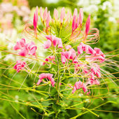 Cleome spinosa — Stock Photo