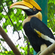 Stock Photo: Great Hornbill