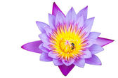 Purple water lilly isolated on white background — Stock Photo