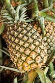 パイナップル — ストック写真