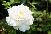 木に美しい白いバラ — ストック写真