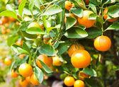 オレンジ ツリー — ストック写真