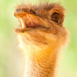 Ostrich Portrait — Stock Photo #31992843