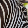 Close-up Zebra  — Stock Photo
