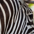 Close-up Zebra — Stock Photo #31995269
