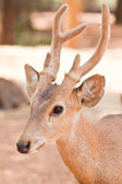 Hog deer close up — Stock Photo