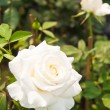 Beautiful white roses on tree — Stock Photo