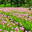 Field of siam tulip flowers  — Stock Photo