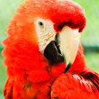 Beautiful red macaw close up — ストック写真 #32009755