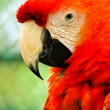 Beautiful red macaw close up — Stock Photo