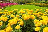 Gul ringblomma och färgglada blommor i trädgården — Stockfoto