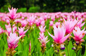 Field of siam tulip flowers — Stock Photo